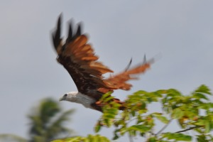 Birds at Bentota River Eagle