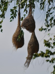 Birdnest at Yala