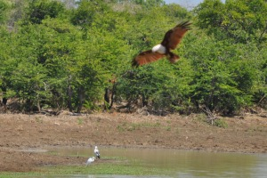 Birds at Yala Eagle hunting