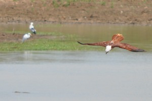 Birds at Yala Eagle fire and hunt fish