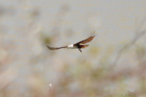 Birds at Yala Eagle missed target